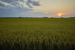 RiceTec e ADAMA lançam solução para cultivo de arroz