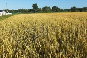 Arrozeiros mostram como a agricultura de precisão garantiu a produtividade sem aumentar o custo de produção