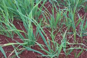 Ausência de chuvas regulares pode afetar severamente produtividade nas lavouras
