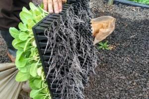 Produtores de fumo investem no solo para potencializar produtividade e qualidade da folha