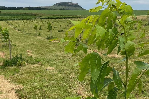 Projeto Pecan4.0 ultrapassa 550 hectares de produtores assistidos