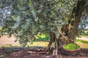 Colheita da oliva avança no Rio Grande do Sul