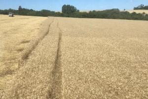 Conheça o segredo de produtores de trigo que superaram os problemas climáticos e mantiveram a produtividade