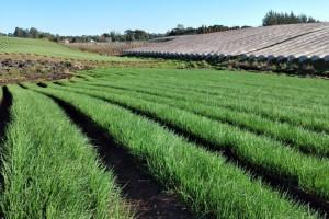 Conheça a tecnologia que está empolgando os produtores de cebola e alho Serra gaúcha