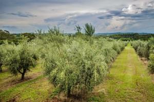 Nutrição do solo ajuda a potencializar pomares de oliveiras
