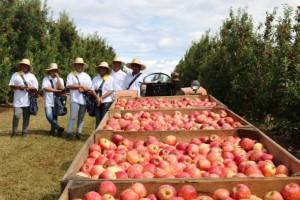 Pesquisa sobre uso de sulfato de cálcio granulado pode impulsionar produção de maçã
