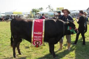 Touro Kazuo é o grande campeão da raça Wagyu