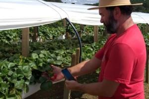 Agricultura de precisão: a tecnologia aliada à produção de morangos