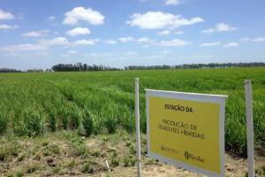 Atentos ao clima e ao mercado, arrozeiros investem em cultivares de ciclo curto