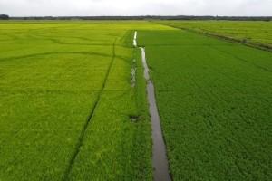 Sementes de arroz com tecnologia Max-Ace serão introduzidas no mercado em 2021