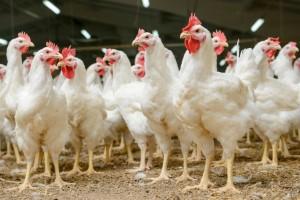 Avicultores conhecem os benefícios do sulfato de cálcio pré-seco na AveSui