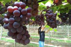 Rio Grande do Sul dá início a colheita oficial da uva e da maçã