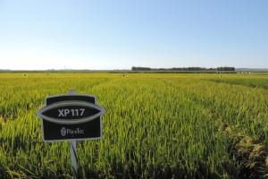 Programa de Pesquisa e Melhoramento da RiceTec lança cultivar XP117