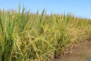 Confira as vantagens da negociação no cedo para o produtor de arroz