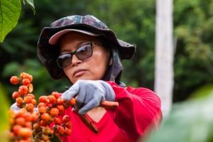 Plataforma criada por startup será usada por produtores de guaraná para a Coca-Cola
