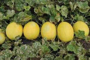 Bioativo natural impulsiona produtividade de melão no nordeste do país
