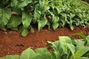 Produtor de fumo investe no solo para altas produtividades