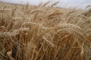 Conheça a solução que ajudou o produtor de trigo a combater os efeitos da geada