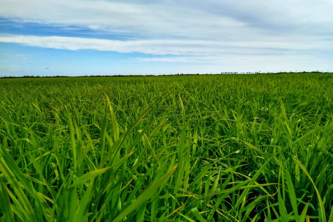 RiceTec Sementes testa novos materiais com a indústria arrozeira