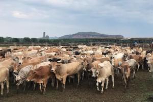 Jotabasso volta a investir na pecuária e projeta duplicar produção até 2020