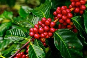 Solução à base de bioativos chega às lavouras de café no Brasil