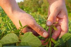 Cuidados indispensáveis com a soja nas fases iniciais de desenvolvimento