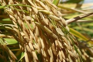 Compra antecipada da semente garante valorização de 10% no preço da saca de arroz