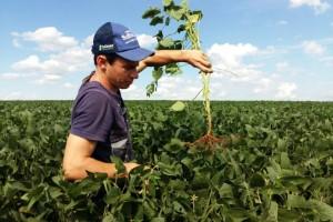 Enraizamento da soja pode significar seguro contra a seca
