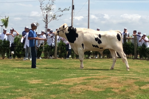 Select Sires do Brasil importa mais sete touros vivos da raça Holandesa